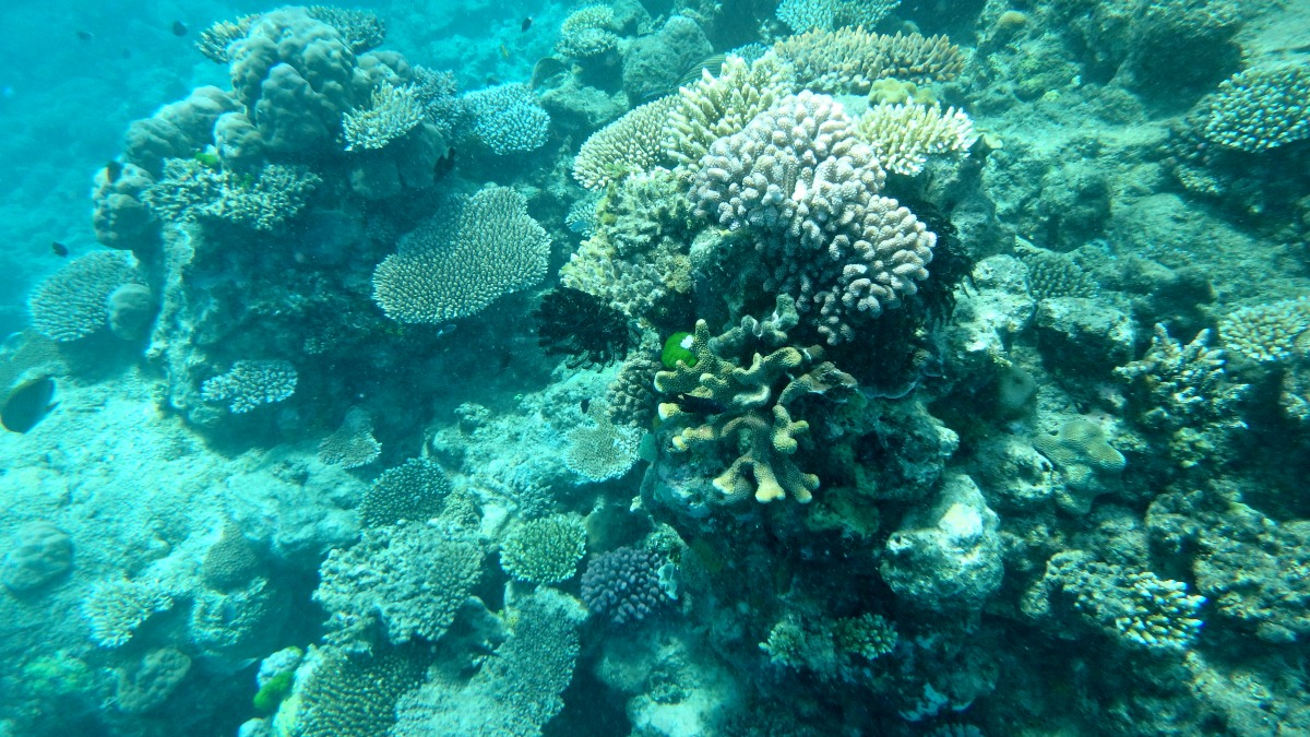 The Great Barrier Reef in Queensland Australia: This photo is of the underwater world of the great barrier reef, with coral, dozens of blue fish, and the sunlight shining through the surface and onto the coral below.
